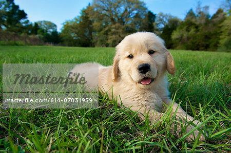 Golden retriever puppy lying down on grass
