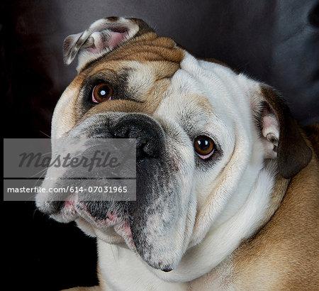 Close up portrait of bulldog
