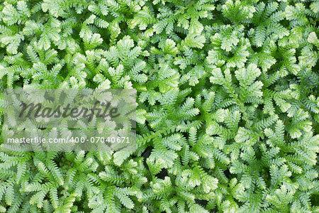 Selaginella kraussiana ( Trailing Selaginella ) small plant with creeping stems forms dense mats of green foliage