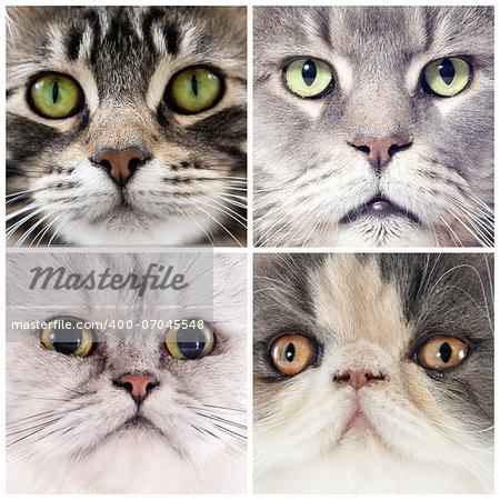 four portrait of purebred cats  in studio