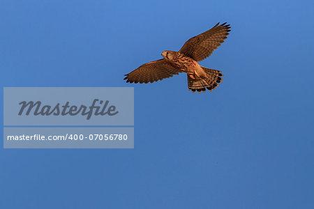 Common Kestrel (falco tinnunculus) in flight on a blue sky