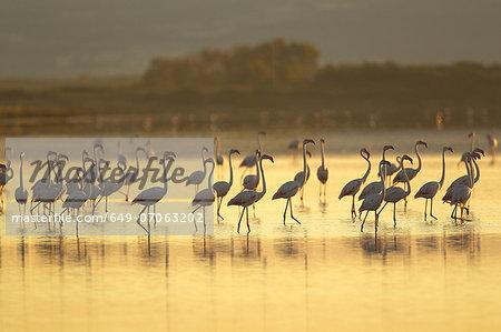 Large group of flamingos, Oristano Region in Sardinia, Italy