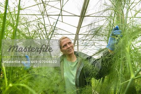 Worker inspecting fennel in greenhouse