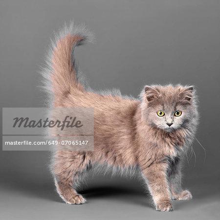 Long haired blue grey kitten