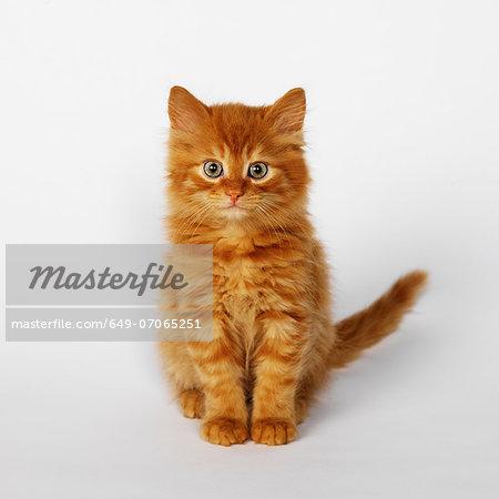 Portrait of ginger kitten