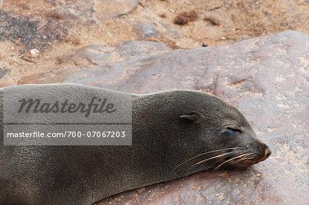 Sleeping Cape Fur seal (Arctocephalus pusillus), Cape Cross, Skeleton Coast, Kaokoland, Kunene Region, Namibia, Africa