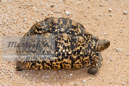 Leopard tortoise (Stigmochelys pardalis), Namibia, Africa