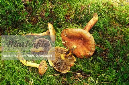 Copper spike mushrooms