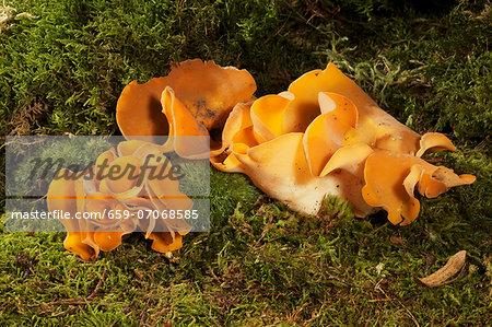 Orange peel fungus
