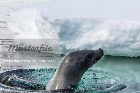 Adult crabeater seal (Lobodon carcinophaga), Cuverville Island, near the Antarctic Peninsula, Southern Ocean, Polar Regions