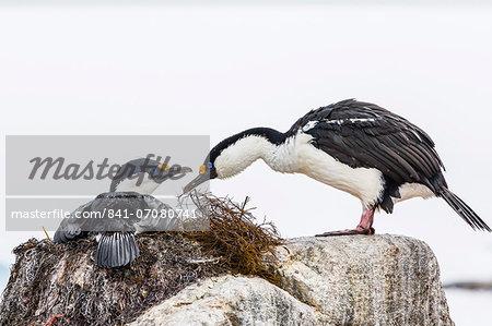 Adult Antarctic shags (Phalacrocorax (atriceps) bransfieldensis), breeding colony on Jougla Point, Weincke Island, Antarctica, Polar Regions