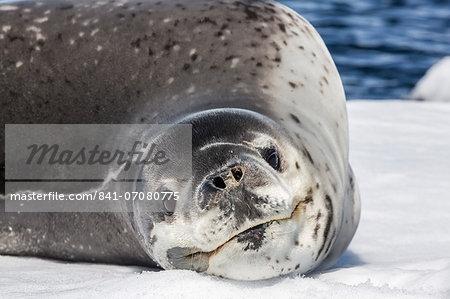Adult leopard seal (Hydrurga leptonyx), Booth Island, Antarctica, Southern Ocean, Polar Regions