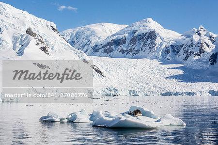 Adult leopard seal (Hydrurga leptonyx), Paradise Bay, Antarctica, Southern Ocean, Polar Regions