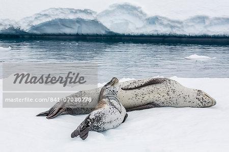 Leopard seal (Hydrurga leptonyx) mother and pup, Petermann Island, Antarctica, Southern Ocean, Polar Regions