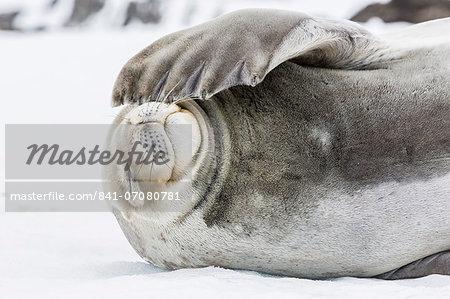 Weddell seal (Leptonychotes weddellii) hauled out on ice at Snow Island, South Shetland Islands, Antarctica, Southern Ocean, Polar Regions
