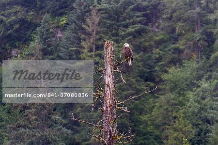 Adult bald eagle (Haliaeetus leucocephalus), near LeConte Glacier, Southeast Alaska, United States of America, North America