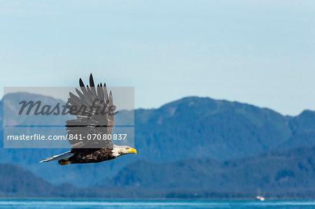 Adult bald eagle (Haliaeetus leucocephalus), Inian Pass, Southeast Alaska, United States of America, North America