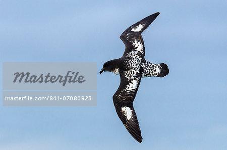 Adult cape (pintado) petrel (Daption capense) in flight, Drake Passage, Antarctica, Southern Ocean, Polar Regions