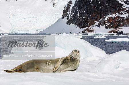 Female crabeater seal (Lobodon carcinophaga), Cuverville Island, near the Antarctic Peninsula, Antarctica, Southern Ocean, Polar Regions