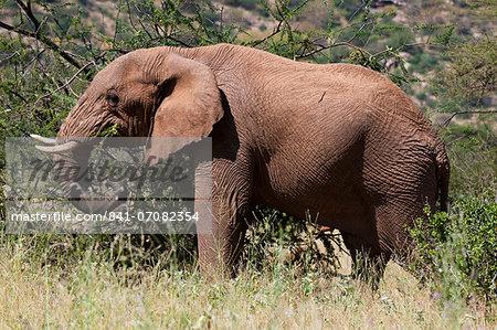 African elephant (Loxodonta africana), Samburu National Reserve, Kenya, East Africa, Africa