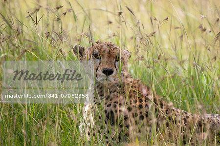 Cheetah (Acynonix jubatus), Masai Mara National Reserve, Kenya, East Africa, Africa