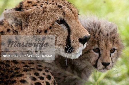 Cheetah (Acynonix jubatus) and cub, Masai Mara National Reserve, Kenya, East Africa, Africa