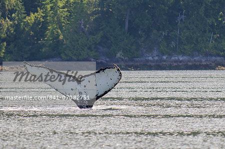 Humpback whales in Quatsino Sound, Port Alice, Vancouver Island, British Columbia, Canada, North America