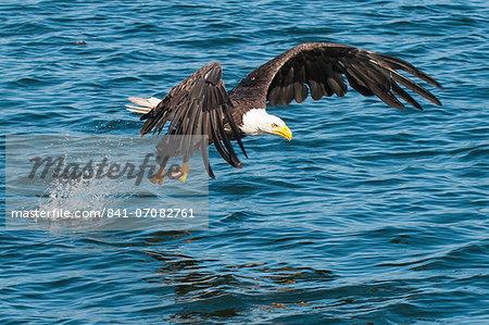 Bald eagle (Haliaeetus leucocephalus) near Prince Rupert, British Columbia, Canada, North America