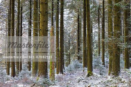Snow dusted pine woodland at Fernworthy Forest, Dartmoor National Park, Devon, England, United Kingdom, Europe