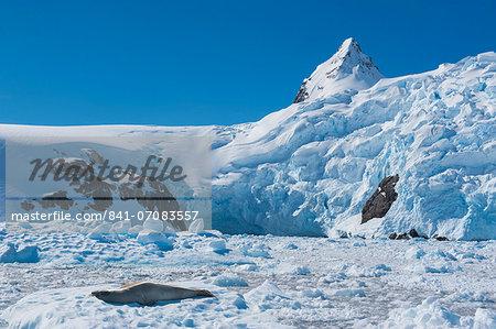 Leopard seal (Hydrurga leptonyx) in front of the glaciers of Cierva Cove, Antarctica, Polar Regions