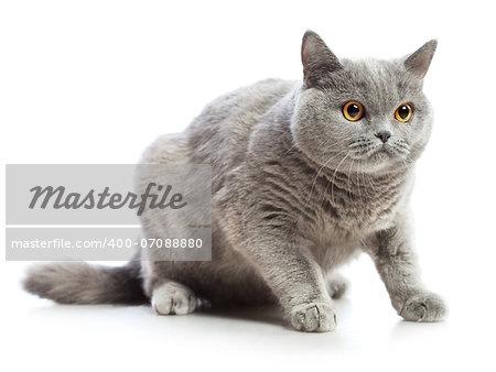 blue british shorthair cat, isolated on white