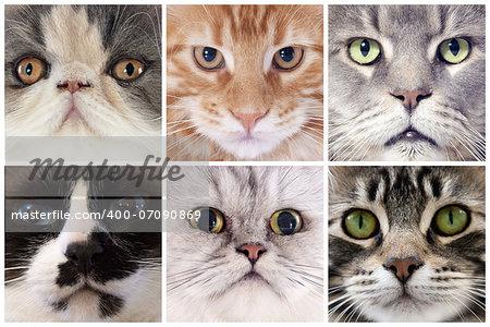 six portrait of purebred cats  in studio