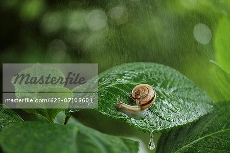 Snail on hydrangea leaf