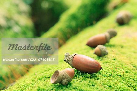 Acorns on moss
