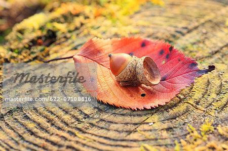 Acorn on tree stump