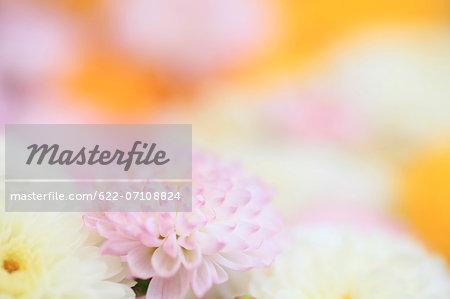 Chrysanth flowers