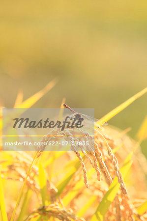 Dragonfly on rice ear