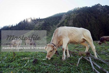 Cattle grazing, Kleinwalsertal, Vorarlberg, Austria