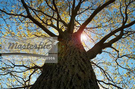 Looking up at Oak Tree