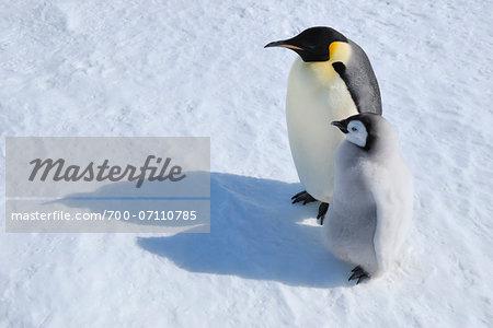Adult Emperor Penguin (Aptenodytes forsteri) with Chick, Snow Hill Island, Antarctic Peninsula, Antarctica