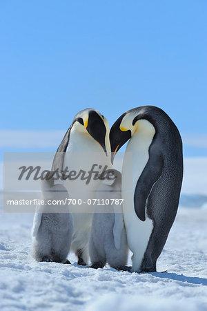 Adult Emperor Penguins (Aptenodytes forsteri) with Chicks, Snow Hill Island, Antarctic Peninsula, Antarctica