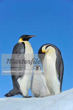 Adult Emperor Penguins (Aptenodytes forsteri) with Chick, Snow Hill Island, Antarctic Peninsula, Antarctica