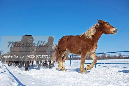 Horses in the snow, Hokkaido