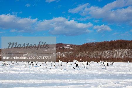 Cranes on snow, Hokkaido