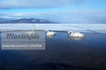 Swans in Kussharo, Hokkaido