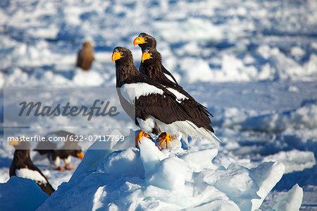White-tailed sea eagles on snow, Hokkaido