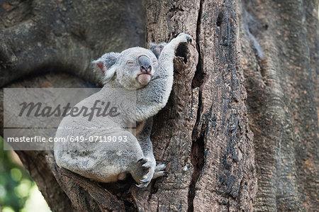 Portrait of sleeping koala bear, Lone Pine Sanctuary, Brisbane, Australia