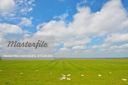 Saltmarshes with Sheep