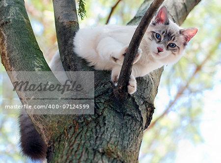 birman kitten is perching on a trunk