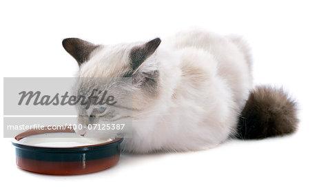 drinking, birman kitten in front of white background